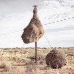 Cum își fac păsările cuib în sudul Africii?