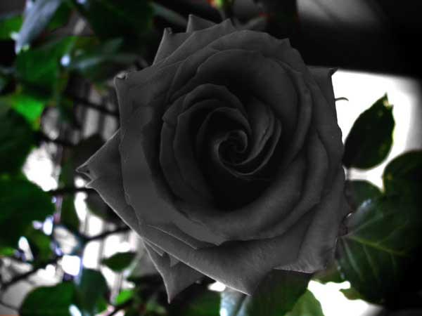 trandafiri-negri-1