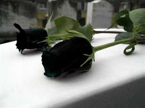 trandafiri-negri-3