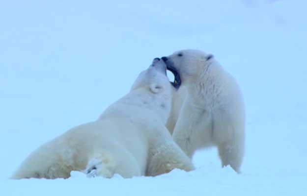 ursi-polari
