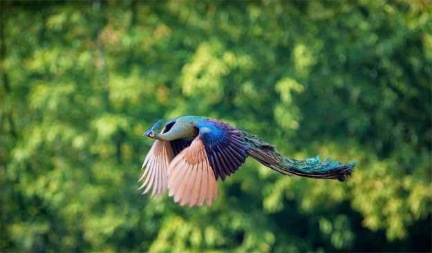 Zborul-paunului-3
