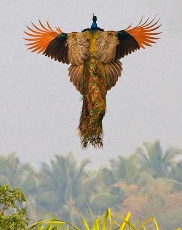 Zborul-paunului-5