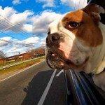 Câini în mașină