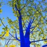 Copacii albastri