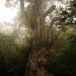 Cei mai batrani copaci din lume