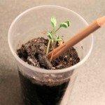 Creionul care isi doreste sa devina o planta