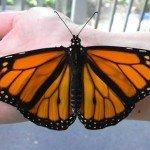 Cum se naște un fluture