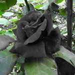 Trandafirii negri