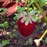 Viața unei căpșuni