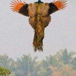 Zborul păunului