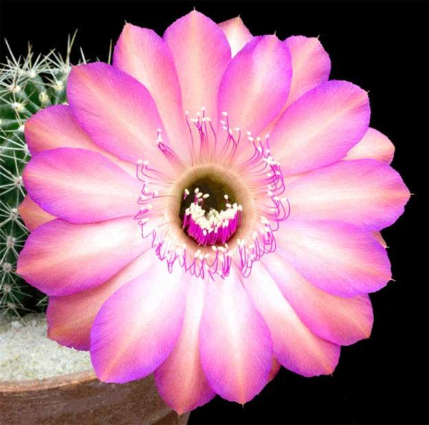 floare-cactus