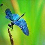 Libelula albastra