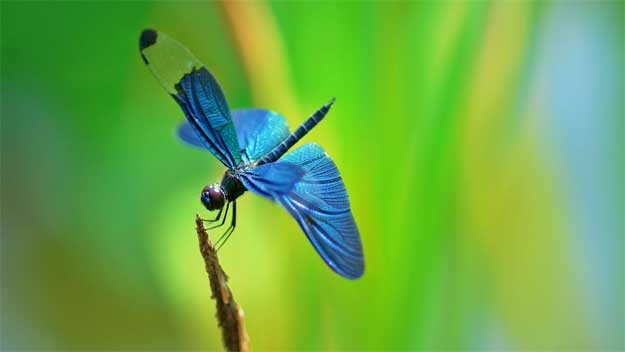 Libelula-albastra