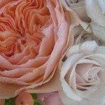 Zece lucruri mai puțin știute despre trandafiri